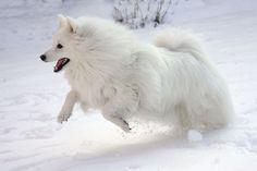 Japanese Spitz having fun in snow