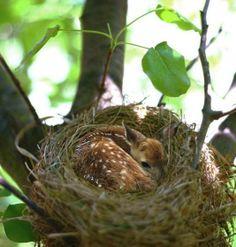 Fawn-ed of a bird's nest.