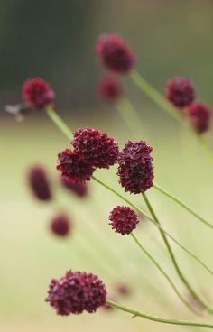 Dandelion, Burgundy, Herbs, Fruit, Health, Flowers, Plants, Sport, Color