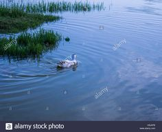 Download this stock image: alone bird in a lake - H5JKP8 from Alamy's library of millions of high resolution stock photos, illustrations and vectors.