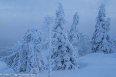 Snowy trees by Antero Topp