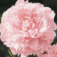 Pillow Talk Peony (planted Fall 2015, flanking front walk gate) | Breck's