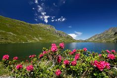 Almrausch rund um den Bergsee - by Herbert Raffalt Mountains, Beautiful, Nature, Travel, Horseback Riding, Round Round, Naturaleza, Viajes, Destinations