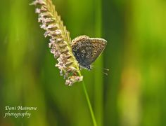 Common Blue at Clandon Wood Natural Burial Reserve in Surrey, UK