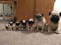 I need a bunch of little black pug stuffed animals to line up next to Turk! ... or just a bunch more pugs!!! ;)