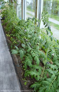 To Prune or Not to Prune Tomato Plants