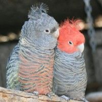 Ganggang Cockatoos