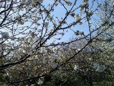 https://flic.kr/p/ouT1gr | fiori di ciliegio#2