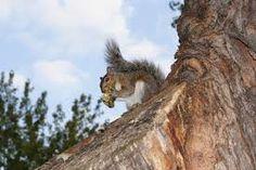 Squirrels - #contest