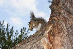 Squirrels - #contest
