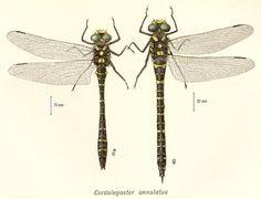 Cordulegaster boltonii (Cordulégastre annelé)
