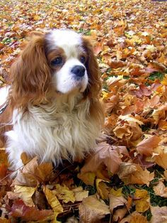 Cavalier King Charles Spaniel playing in the golden rustle of autumn leaves❤️