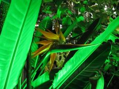 Planta Strelitzia o flor pajaro en Higashiyama.Zoo-Botanical Garden