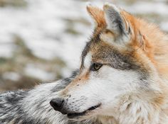 Mexican Wolf - This is the species of wolf that I wish people paid more attention to in the US rather than the northern grey wolf.