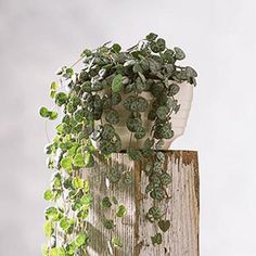 Rosary Vine Perfect For Hanging Baskets Ceropegia Linearis Woodii Is A