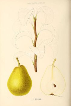 fruits-00421 - Pear, 012 [2750x4098]
