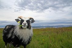 Heimalingurinn í Flatey  Taken in Flatey, small island in Breidafjordur, west Iceland! I was feeding him with grass and chatting with him!...