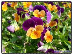 팬지, 삼색제비꽃 [비올라]
