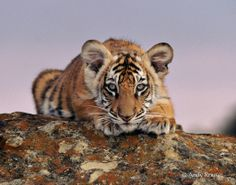 Stunning tiger cub (photo by Andy Rause) Donate to the fund: http://www.panthera.org/programs/tiger/save-tiger-fund