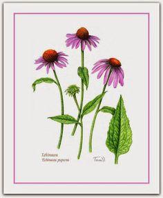 Equinácea, Purpúrea, Flor-de-cone, Púrpura, Rudbéquia  A equinácea é uma planta herbácea, perene e muito florífera, conhecida no mundo todo tanto por seu efeito ornamental como por suas qualidades medicinais.  http://sergiozeiger.tumblr.com/…/equinacea-purpurea-flor-de…  A floração é de longa duração e ocorre na primavera e verão. Suas inflorescências são semelhantes às das Margaridas. A polinização é realizada por abelhas e borboletas.