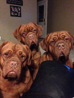 My babies! Ddb, dogue de bordeaux, french mastiff