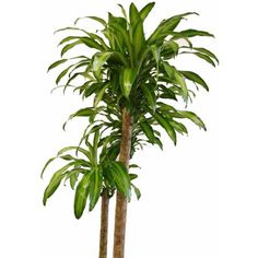 """Delray Plants Mass Cane in 10"""" Pot"""