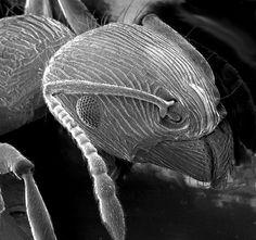 Ant SEM - Electron microscope - Wikipedia, the free encyclopedia