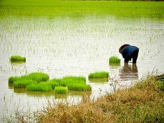 thai farmer planting rice