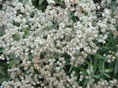 Perlekurv, Staude, Anaphalis triplinervis, højde på 30 cm. – 40 cm under blomstringen, og gror som en tue, der ser grå sølvagtig ud, blomsrer i august oktober med små hvide blomster. randkronerne bliver siddende på, det meste af vinteren. i fuld sol, og til den tørre side, blade grå farve.  kan bruges som en kontrast til andre planter, til forgrunden, som tueformet bunddække, og i kummer og staudebede, den er smuk både med og uden blomster.