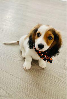 Mini Dachshund, Dachshund Puppies, Dachshunds, Cutest Dogs, Corgi, Wildlife, Babies, Mood, Pets