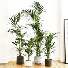 The Kentia Palm fills instant the room up with green calmness. A greate plant for filling out empty spaces. Check out the complet Plant Guide For The Home with 20 different plants and how to care for them. Lily Plant Types, Types Of Plants, Ficus, Year Round Flowers, Big Indoor Plants, Palm Plants, Chlorophytum, Corn Plant, Palmiers