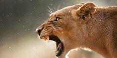 Milyen állattá válasz, amikor dühbe gurulsz?