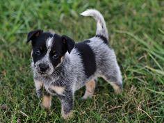 Puppy Blue Heeler