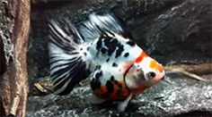 Maidenhead Aquatics exclusive show quality fancy goldfish