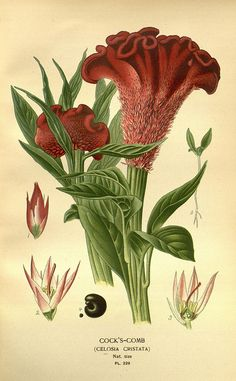 Celosia Cristata - Favourite flowers of garden and greenhouse /. London and New York :Frederick Warne & co.,1896-97..