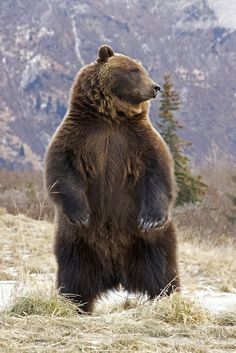 29 Ideas for nature photography wildlife grizzly bears Nature Animals, Animals And Pets, Cute Animals, Wild Animals, Baby Animals, Beautiful Creatures, Animals Beautiful, Urso Bear, Tier Fotos