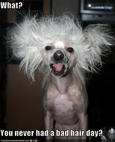 I have a chinese crested rescue but she had more hair than this. She still has some bad hair days.