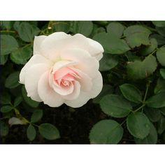ampon, gel de dus, crema pentru maini din extract de trandafiri ce hidrateaza, confera elasticitate si stralucire si o aroma placuta de trandafiri.