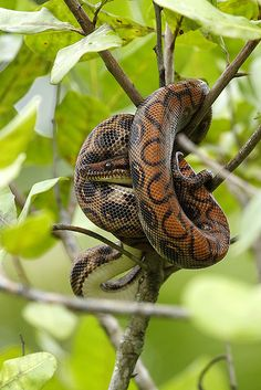 Epicrates cenchria is a boa species found in Central and South America. Common names include the rainbow boa, and slender boa. (http://en.wikipedia.org/wiki/Epicrates_cenchria)