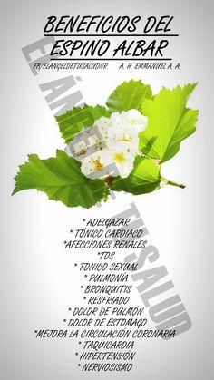 El espino albar ayuda a metabolizar las grasas  Por su actividad positiva en la metabolización de la grasa, los frutos de espino albar se recomiendan como complemento de una dieta equilibrada.  Parece ser que las bayas del espino albar son útiles para metabolizar las grasas. Se trata de un uso ya conocido de la medicina tradicional china, que deniminaba a la planta shan zha. Según se ha descubierto, los principios activos contenidos en los frutos,