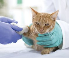Injured cat at the vet
