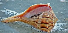 Lightning WhelkThe lightning whelk is a sea snail that actually eats other things in shells, like oysters, scallops, and clams,