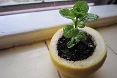 citrus peel planter, when the plant is ready, plant the whole thing and the peel becomes compost