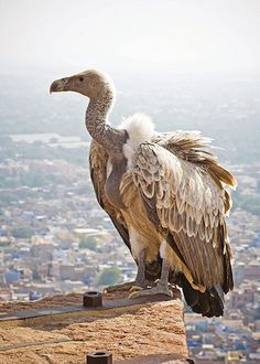 White-rumped vultures were once a familiar sight in the cities of southern Asia, with a population numbering millions, but its numbers plummeted fast in the 1990s. It was discovered that an anti-inflammatory drug used to treat injured cattle was to blame. When the cattle died, the vultures would ingest the drug and suffer a slow, painful death