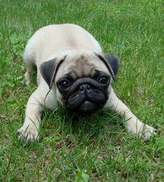 awwwww soooooooooooooooooooooooooooooooooooooooooooooooooooooooooooooooooooooooooooooooooooooooooooooooooooooo cute I NEED A PUG (CAROLINE)