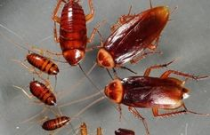Why cockroach Control is necessary… – The Environmental Alternative For Safer Pest Control Best Pest Control, Pest Control Services, Cockroach Control, Mosquitos, Termite Control, Roaches, Clean House, At Least, Hacks