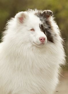 Double Merle. Pretty, right? Except that it is blind and deaf and HAS NO EYES. Merle to Merle breeding = bad