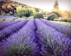 Lavender fields in Sonoma county California. Pick fresh handfuls sprinkle on carpet vacuum ;)
