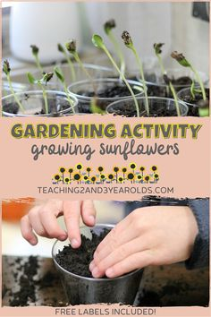 Our favorite preschool garden activity includes mammoth sunflowers. They are easy to plant, grow quickly, and transfer well outdoors. Plus, they grow really tall, something preschoolers find fascinating! #preschool #toddlers #gardening #planting #sunflowers #seeds #nature #science #spring #teaching2and3yearolds Preschool Garden, Preschool Lesson Plans, Preschool At Home, Preschool Classroom, Toddler Preschool, Growing Sunflowers, Planting Sunflowers, Nature Activities, Spring Activities