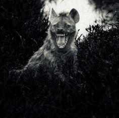 Laurent Baheux • Hyena